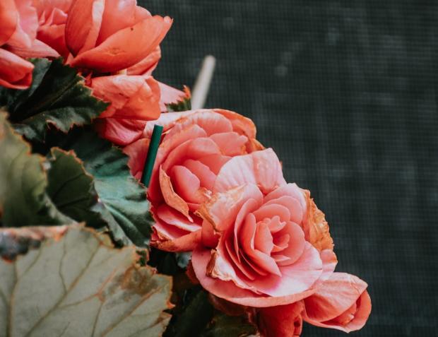 цветет бегония