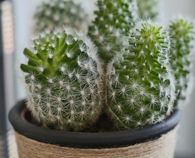 в цветочном горшке растут кактусы