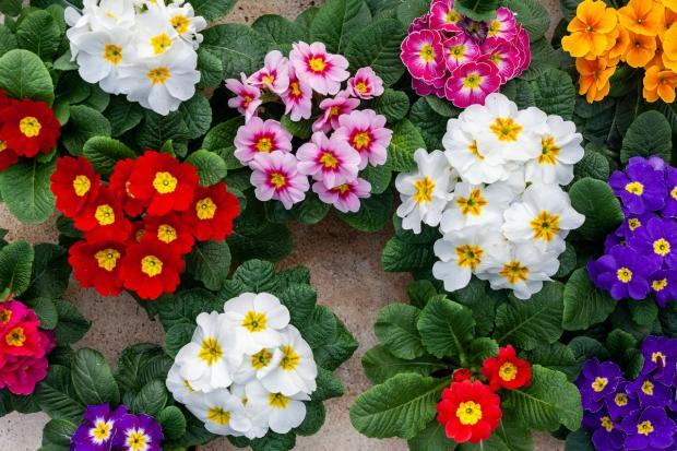 разноцветные комнатные цветы