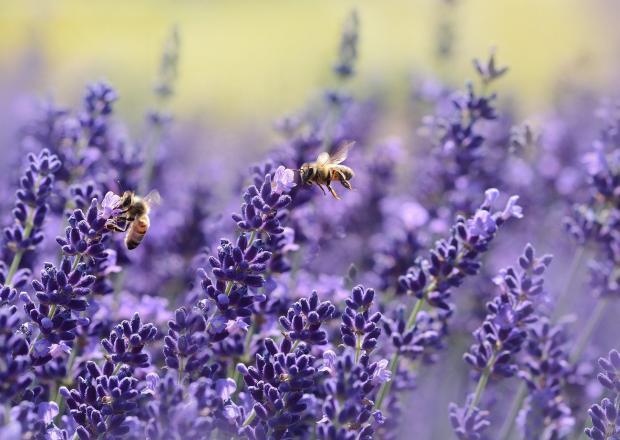 лаванда, пчелы