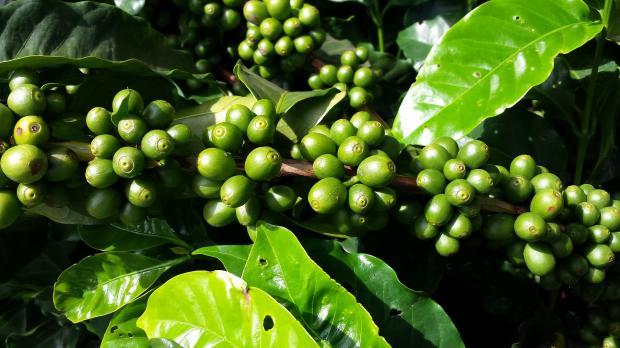 кофейное дерево с плодами