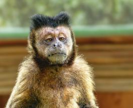 Голодные обезьяны на закрытом для туристов Бали совершают набеги на дома местных жителей