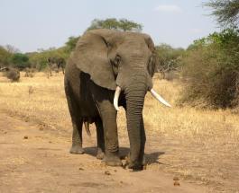 Встреча огромного слона и грузовика на дороге едва не закончилась ДТП с ущербом: видео