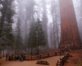 Самое большое дерево в мире пытаются спасти от лесных пожаров в Калифорнии