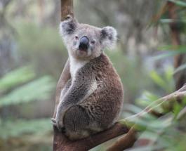 Популяция коал в Австралии сократилась на 30 процентов за последние три года