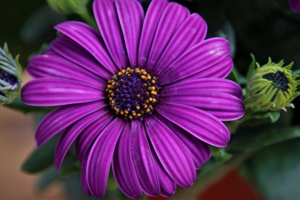 крупный цветок фиолетовой герберы