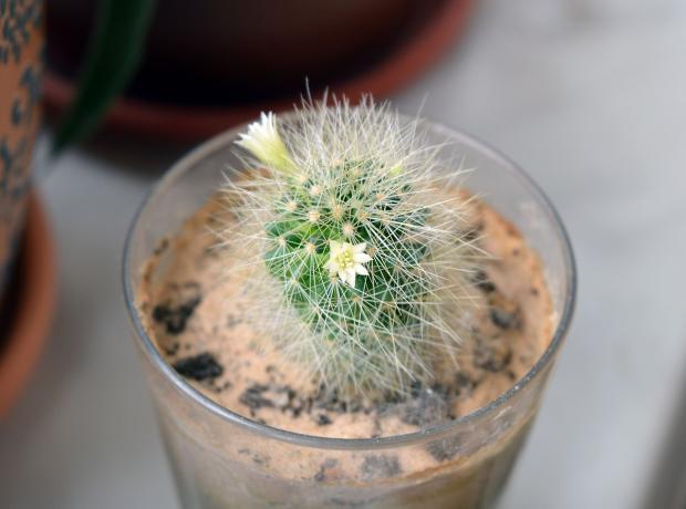 в стеклянном стакане растет кактус