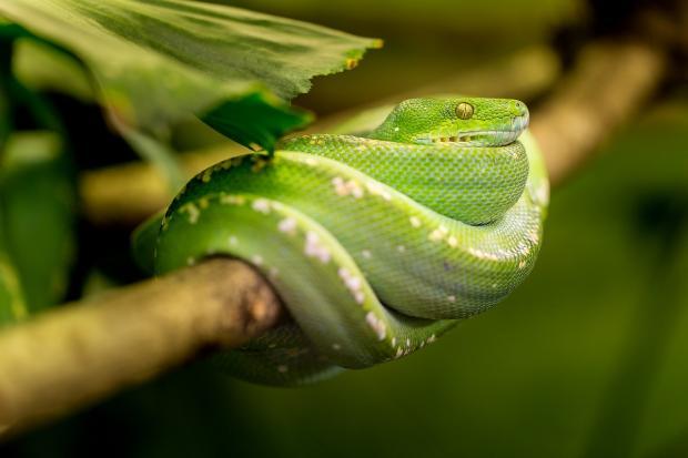 зеленая змея обвила ветку дерева