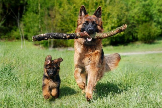 собака бежит по лугу со щенком