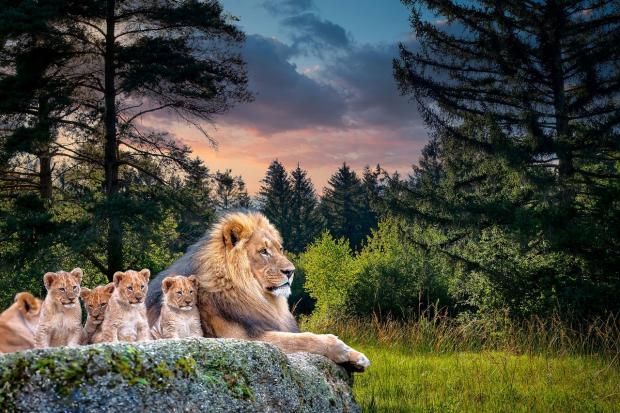 львята лежат на камне рядом со львом