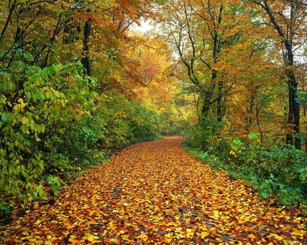 усыпанная осенними желтыми листьями лесная дорога