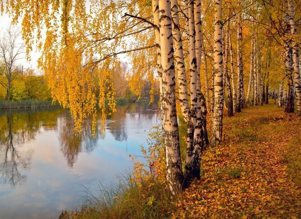 осенняя березовая аллея на берегу реки