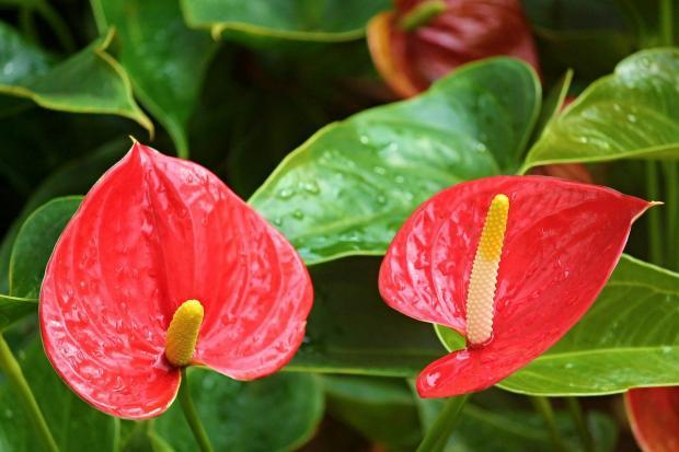 цветет антуриум