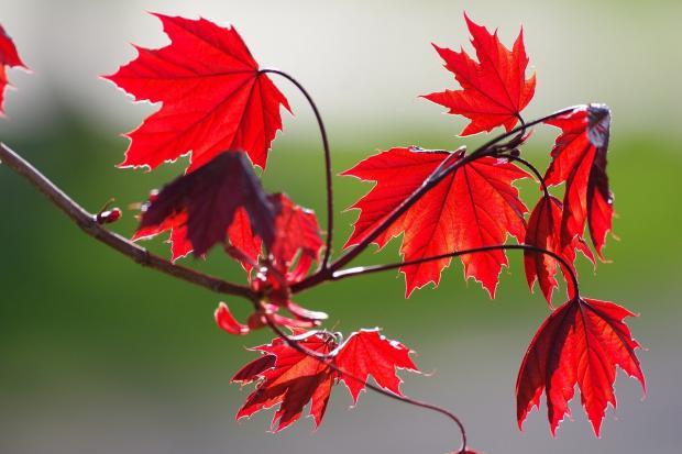 на ветке держатся красные кленовые листья