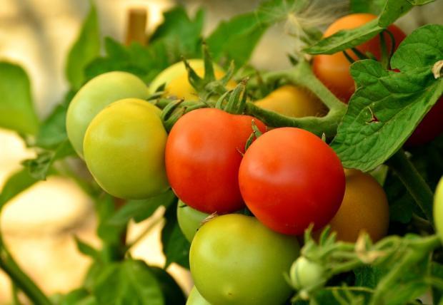 ветка зеленых и красных помидоров