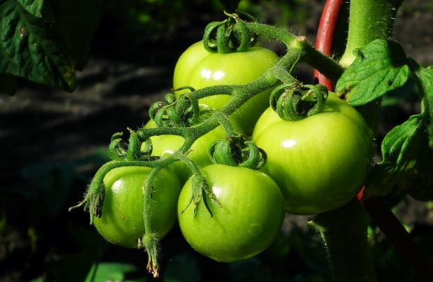 ветка с зелеными помидорами