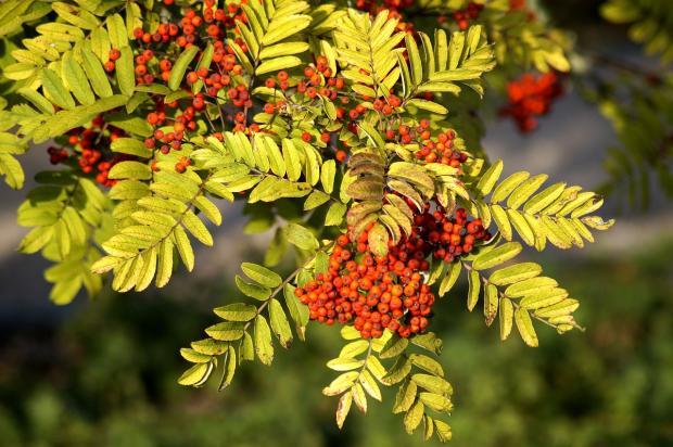 грозди рябины висят на пожелтевших ветвях