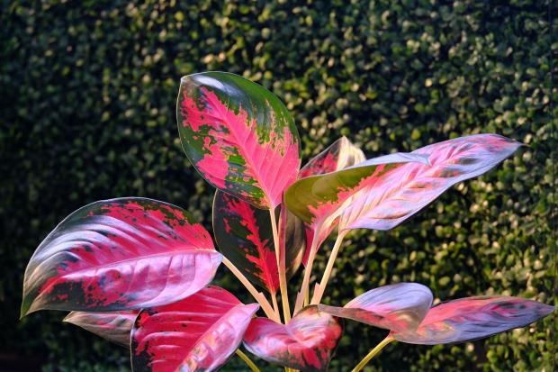 крупный комнатный цветок к красно-зелеными листьями