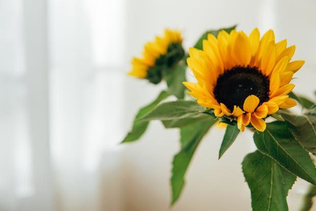 цветок декоративного подсолнуха