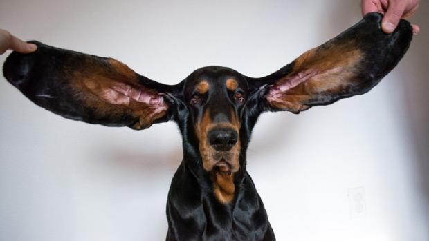 пес с самыми длинными ушами