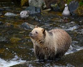 Самый толстый медведь на Аляске: фото победителя необычного конкурса
