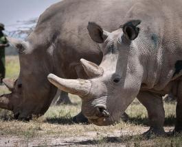 Ученые признали непригодной для размножения одну из последних самок белого носорога