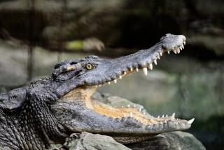 Гигантский аллигатор съел своего собрата меньшего размера: видео стало вирусным в сети