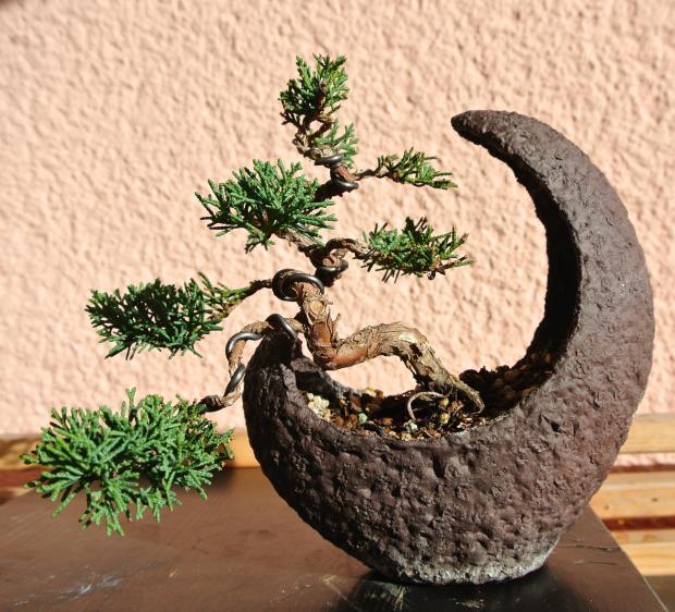 на столе стоит растение бонсай в горшке формы полумесяца