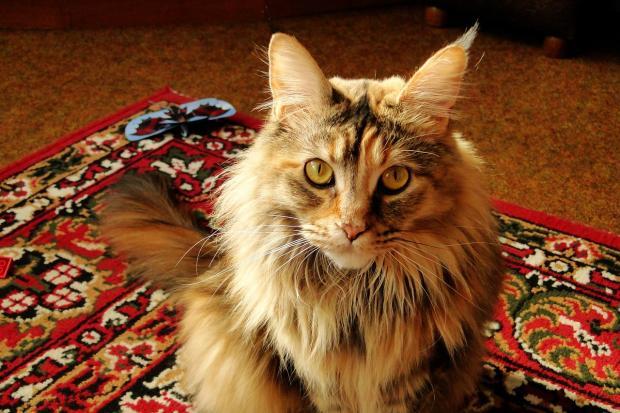 кошка породы мейн кун сидит на красном ковре с орнаментом