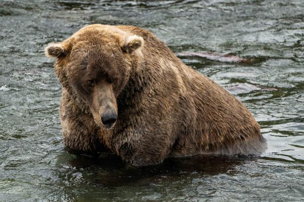 самый толстый медведь