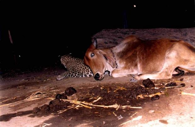 корова и леопард